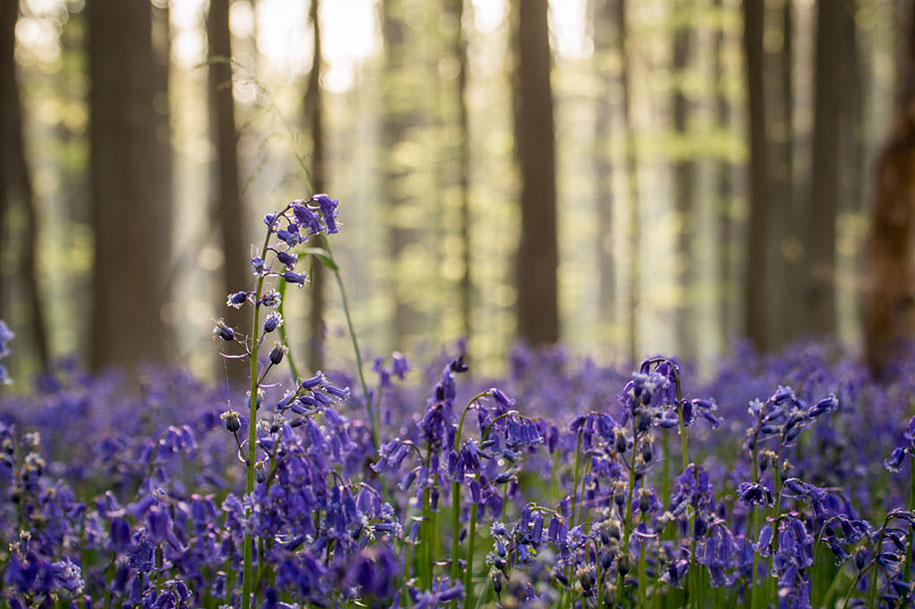bluebell-forest-hallerbos-belgium-nature-photography-13