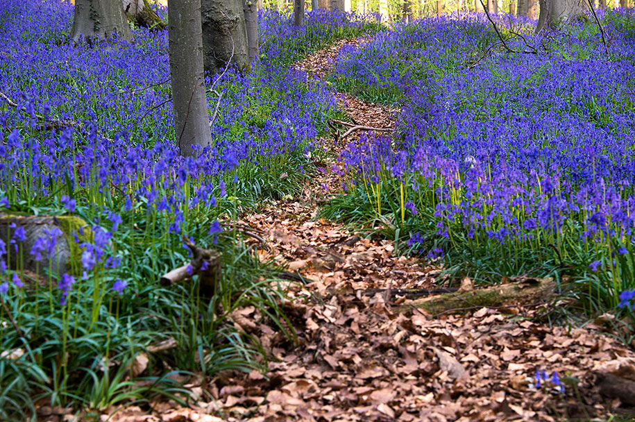 bluebell-forest-hallerbos-belgium-nature-photography-3