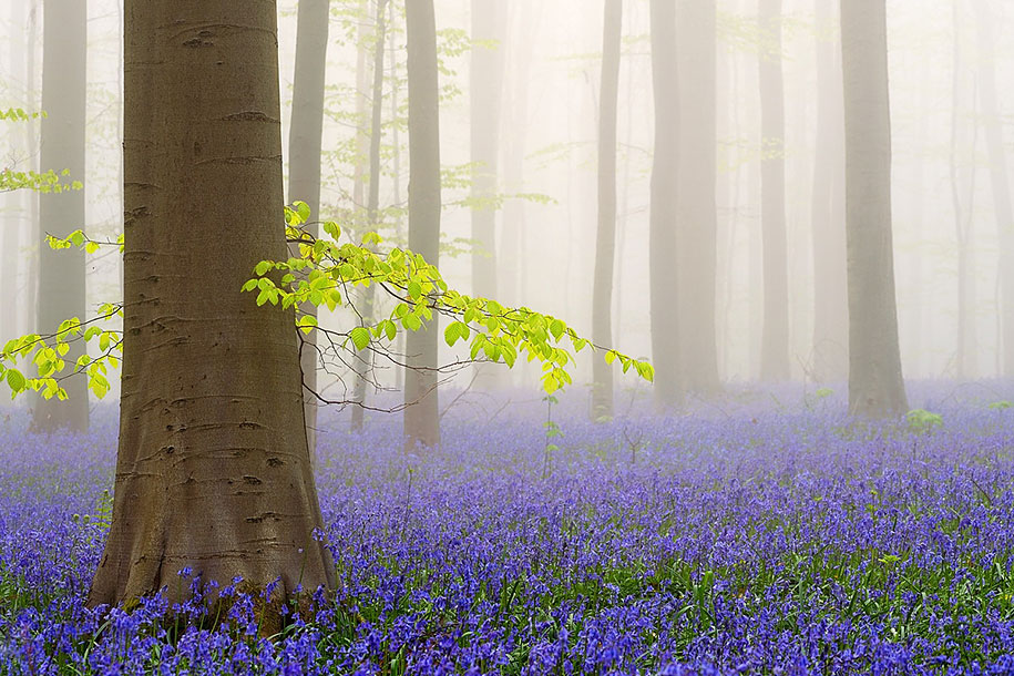 bluebell-forest-hallerbos-belgium-nature-photography-4