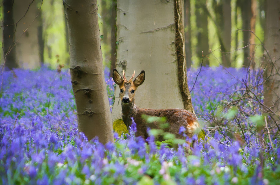bluebell-forest-hallerbos-belgium-nature-photography-9