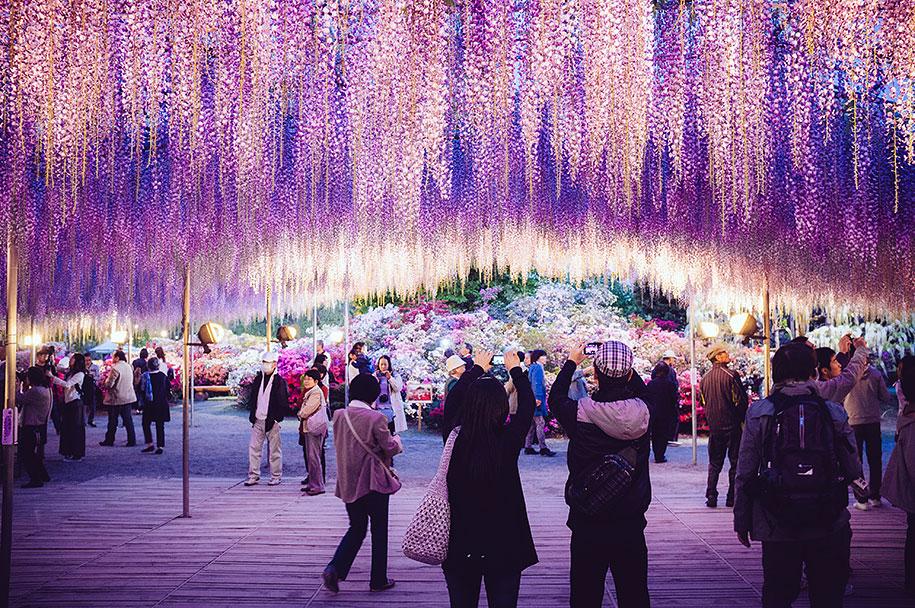 large-old-wisteria-bloom-japan-6