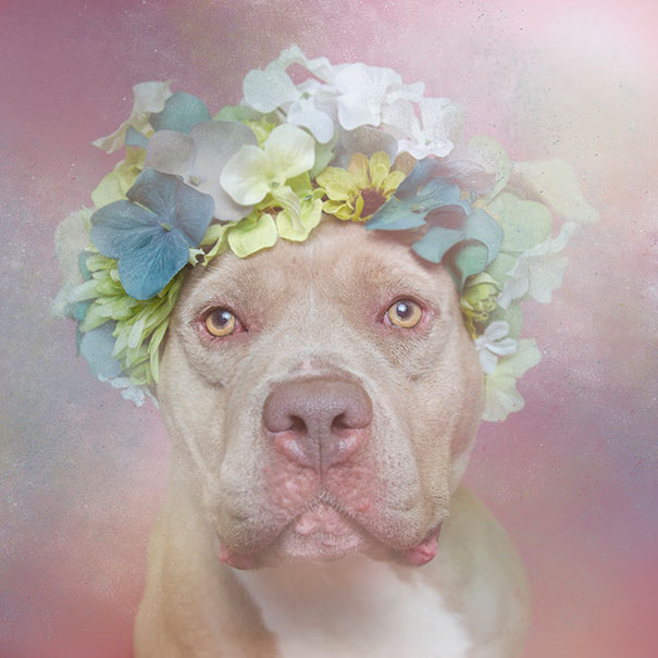 flower-power-pit-bulls-of-the-revolution-photography-sophie-gamand-1