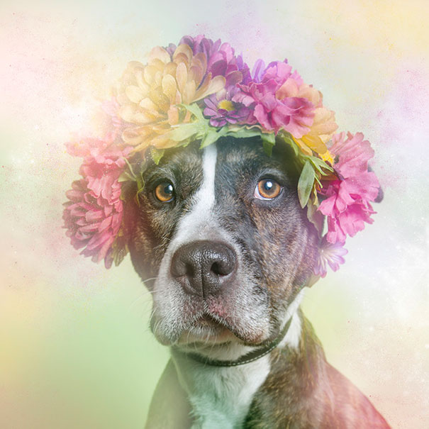 flower-power-pit-bulls-of-the-revolution-photography-sophie-gamand-10