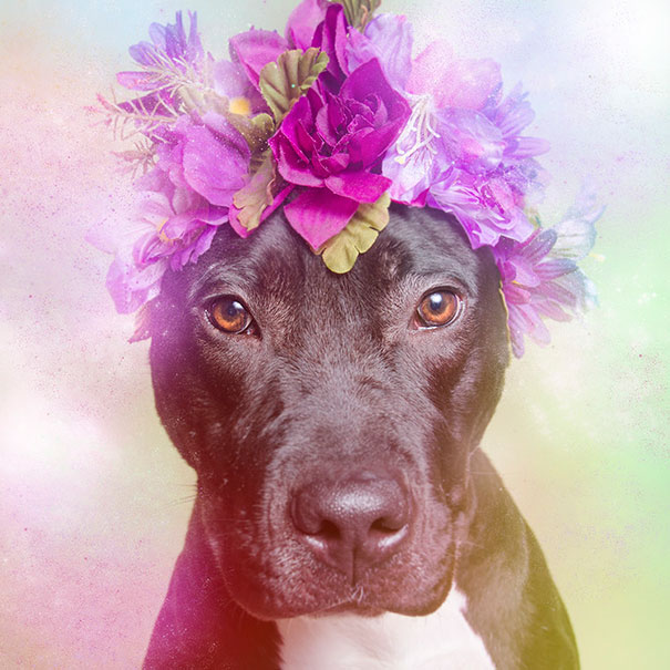 flower-power-pit-bulls-of-the-revolution-photography-sophie-gamand-11