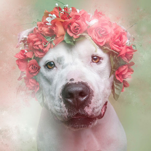 flower-power-pit-bulls-of-the-revolution-photography-sophie-gamand-2