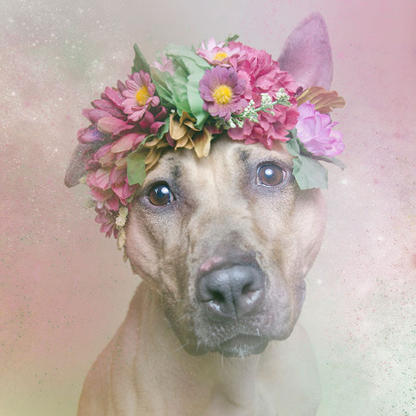 flower-power-pit-bulls-of-the-revolution-photography-sophie-gamand-3