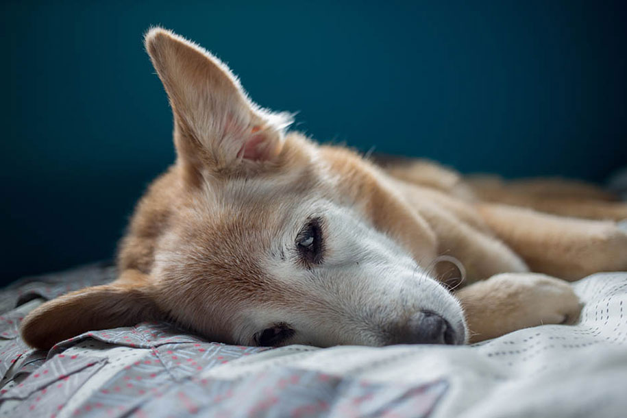 chubby-dog-memorial-photoshoot-maria-sharp-suzanne-price-14