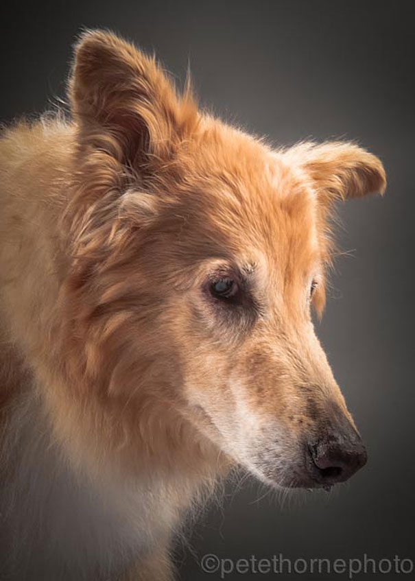 old-faithful-old-dog-portrait-photography-pete-thorne-12