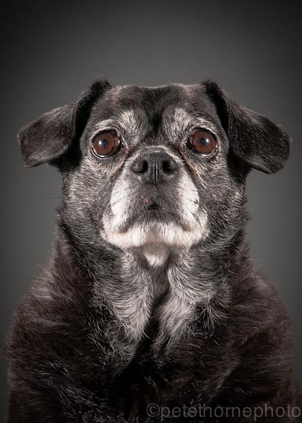 old-faithful-old-dog-portrait-photography-pete-thorne-15