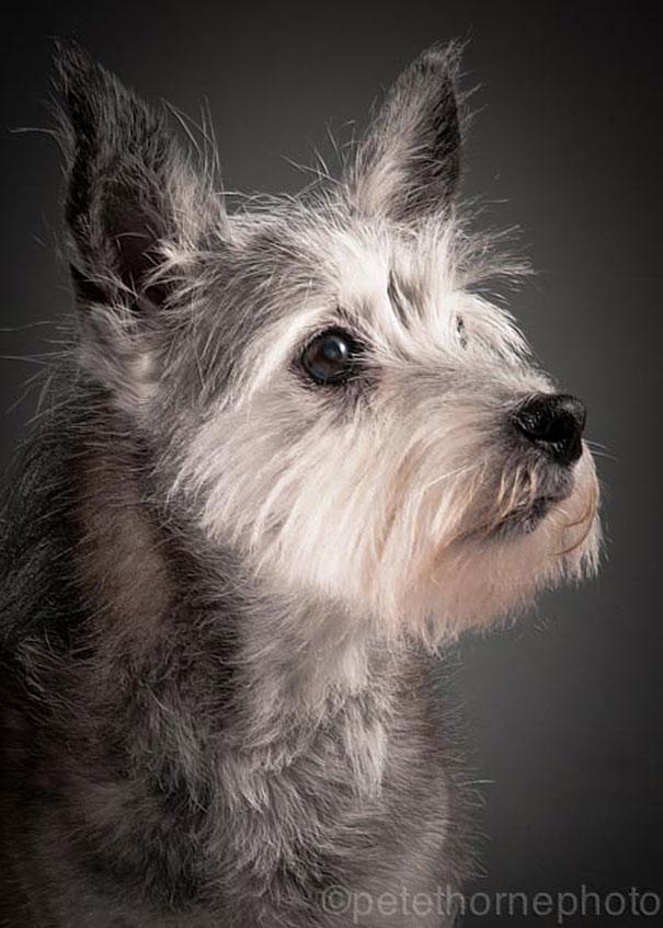 old-faithful-old-dog-portrait-photography-pete-thorne-8