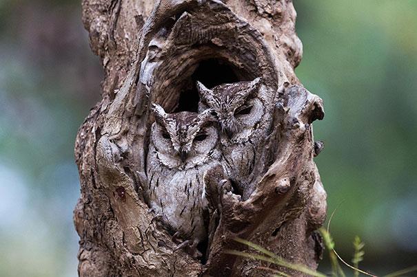 owls-comouflage-nature-photography-14