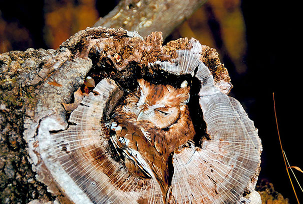 owls-comouflage-nature-photography-7