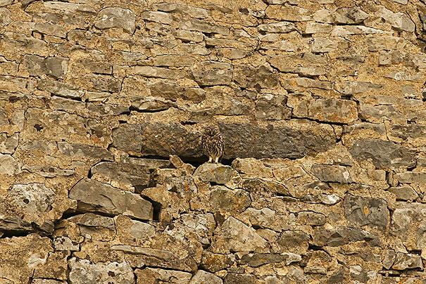 owls-comouflage-nature-photography-9