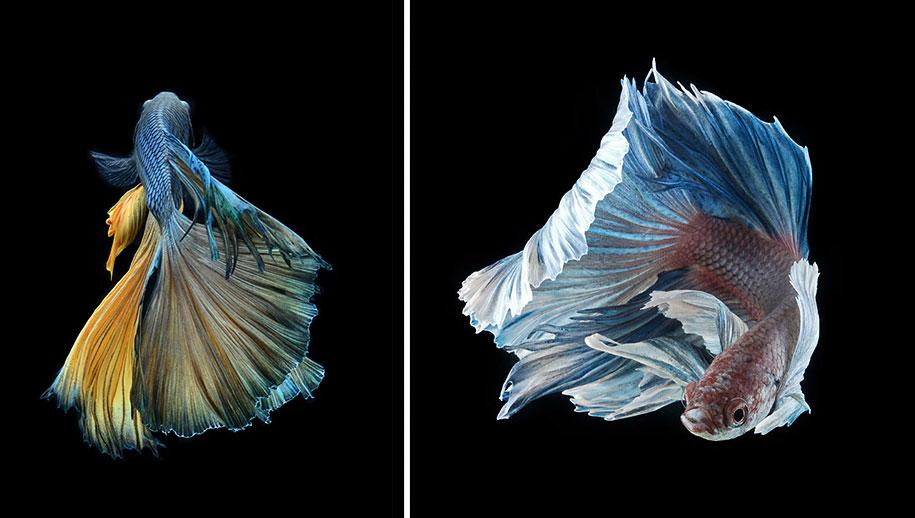 siamese-fighting-fish-photography-visarute-angkatavanich-18