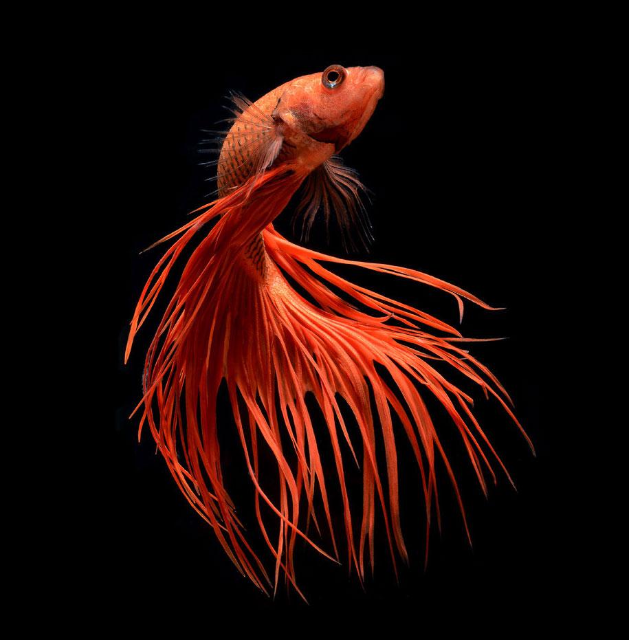 siamese-fighting-fish-photography-visarute-angkatavanich-25