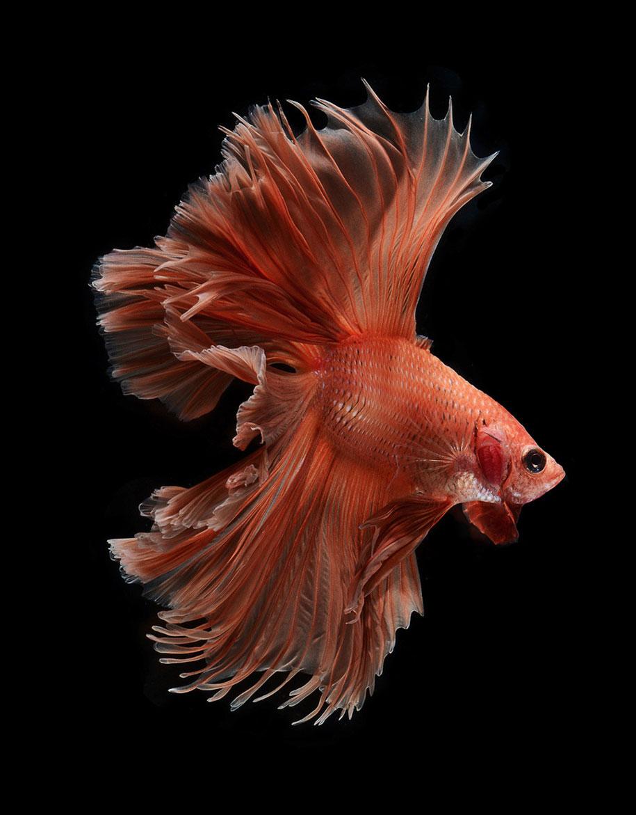siamese-fighting-fish-photography-visarute-angkatavanich-30