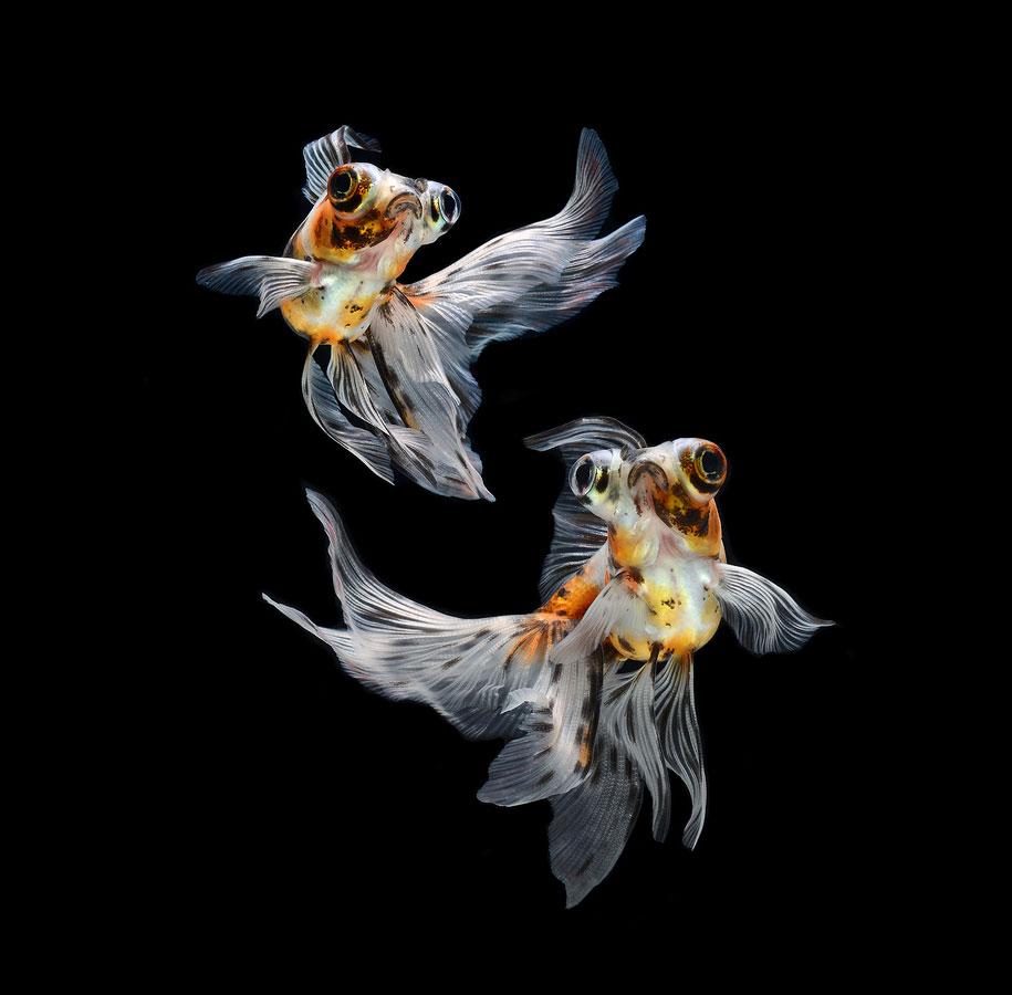 siamese-fighting-fish-photography-visarute-angkatavanich-32