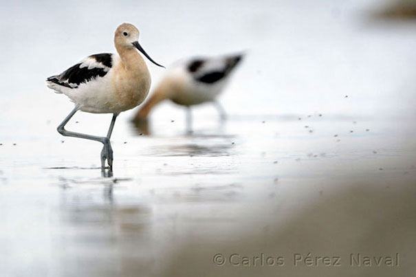 wildlife-photography-carlos-perez-naval-15