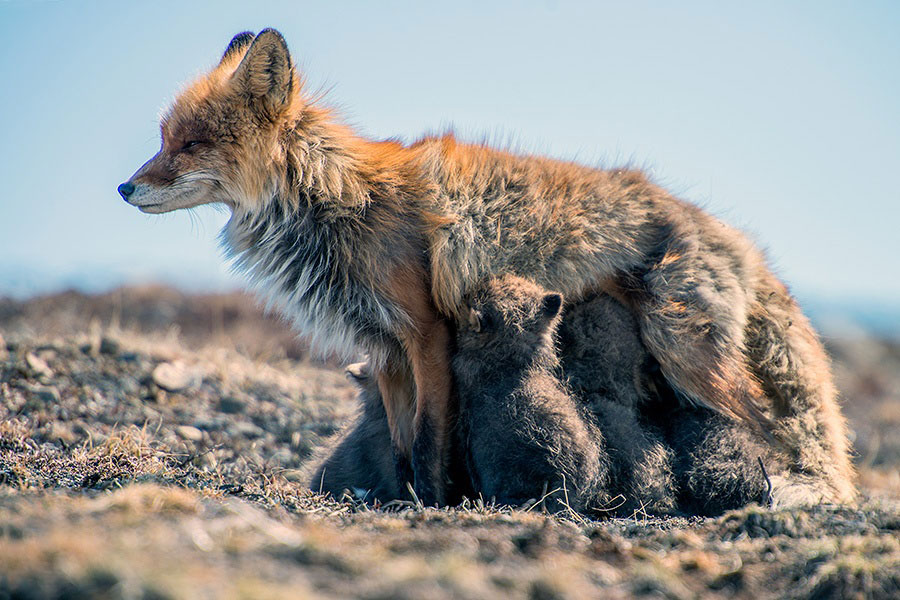 wild-foxes-photography-ivan-kislov-1