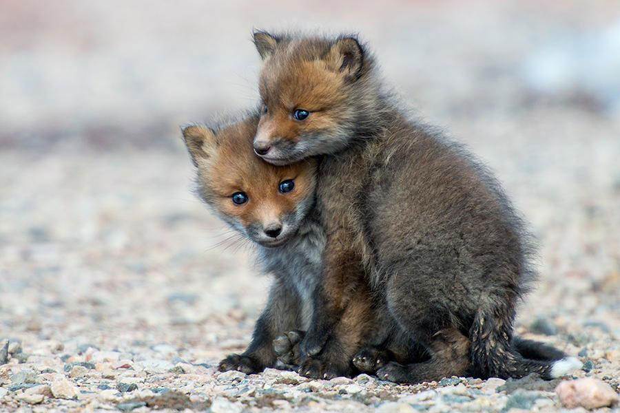 wild-foxes-photography-ivan-kislov-10