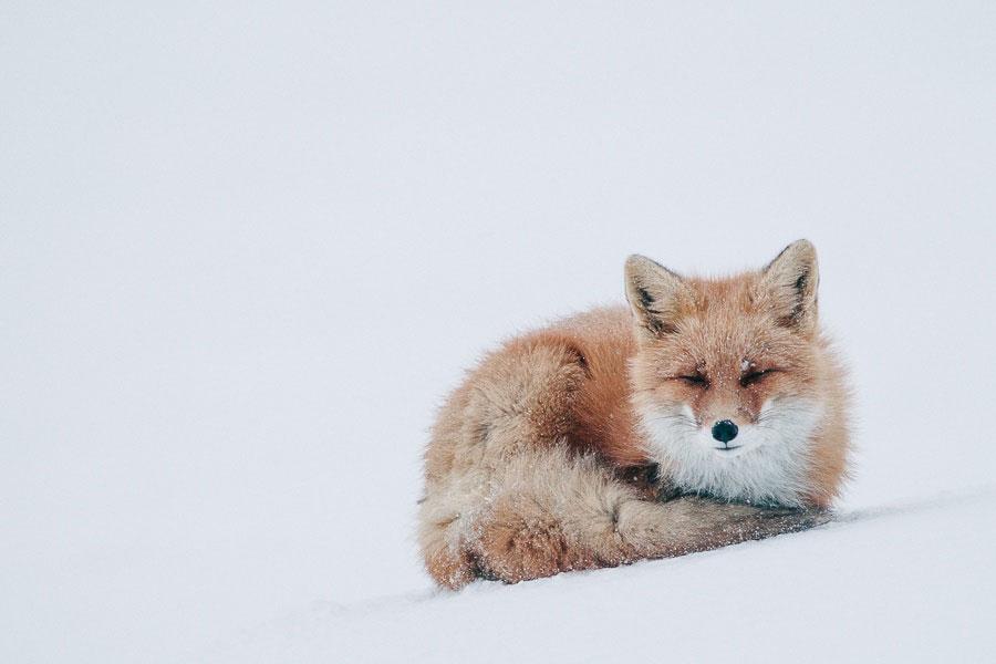 wild-foxes-photography-ivan-kislov-11