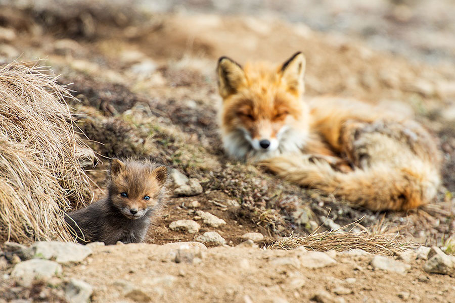 wild-foxes-photography-ivan-kislov-12