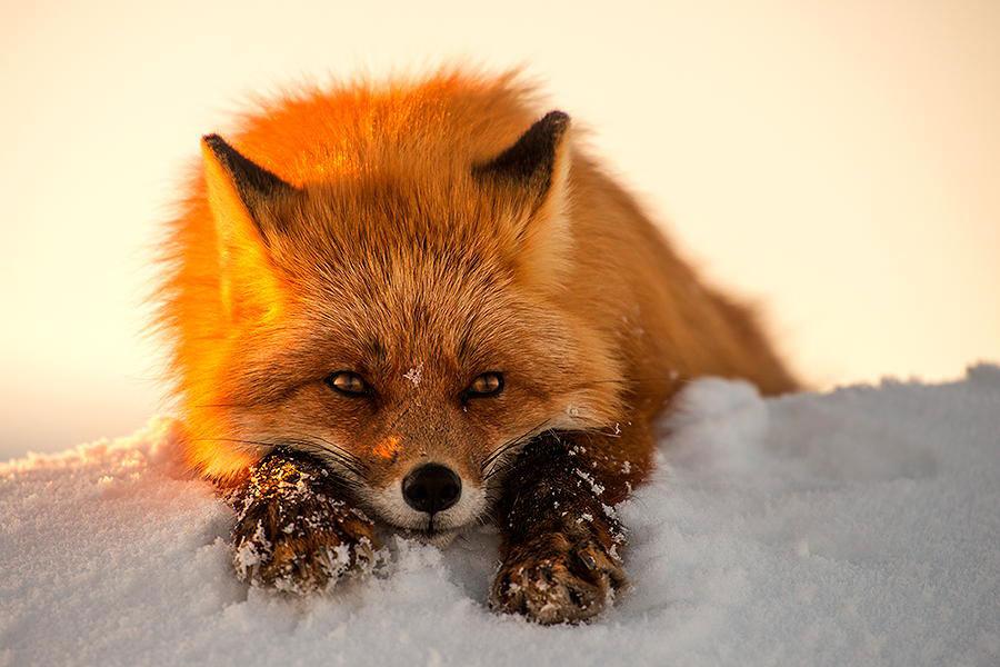 wild-foxes-photography-ivan-kislov-13