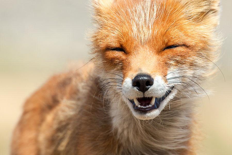 wild-foxes-photography-ivan-kislov-17