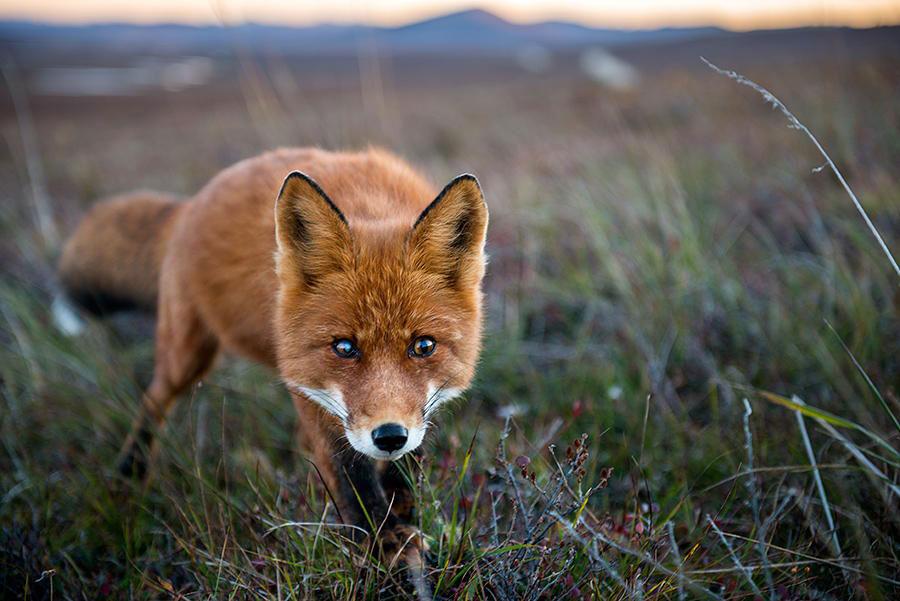 wild-foxes-photography-ivan-kislov-20