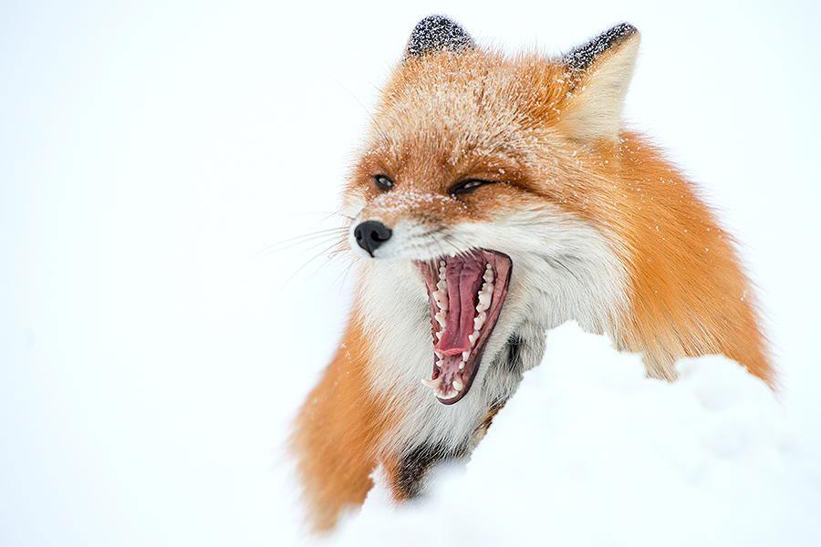 wild-foxes-photography-ivan-kislov-9