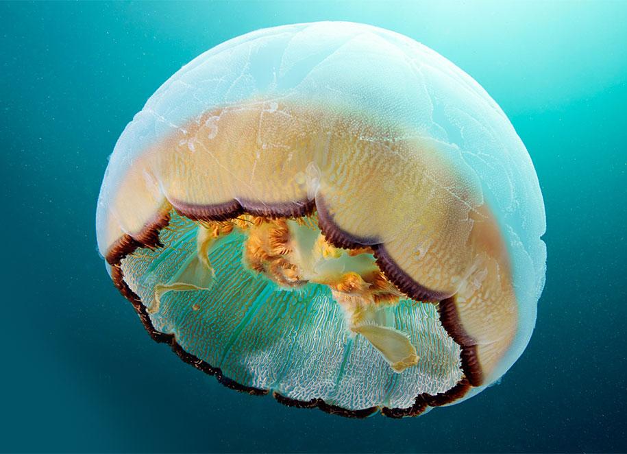 jellyfish-underwater-photography-alexander-semenov-13