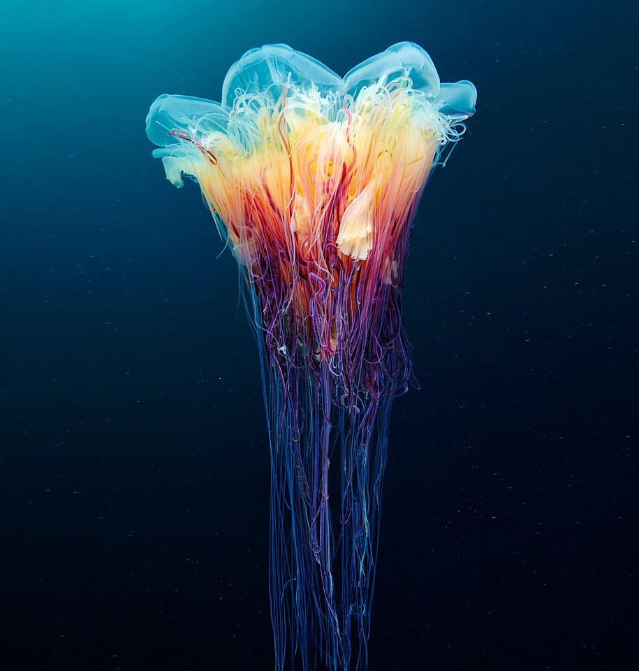 jellyfish-underwater-photography-alexander-semenov-4