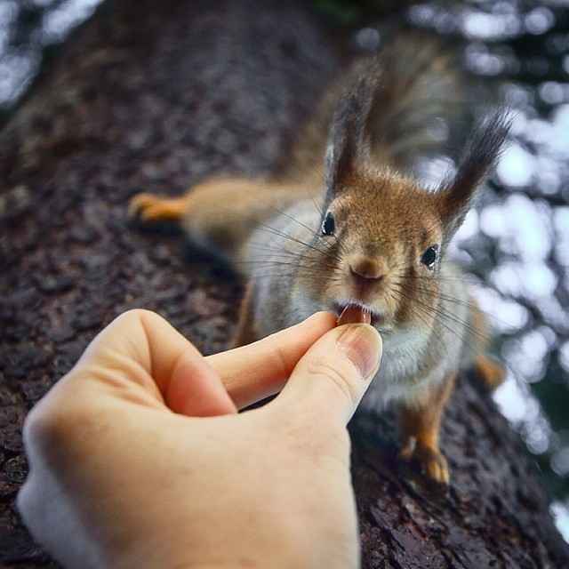 finnish-wildlife-feeding-squirrel-whisperer-konsta-punkka-5