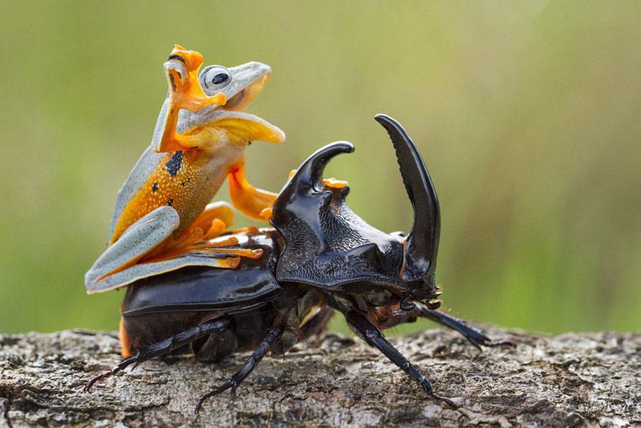 frog-beetle-rodeo-hendy-mp-2