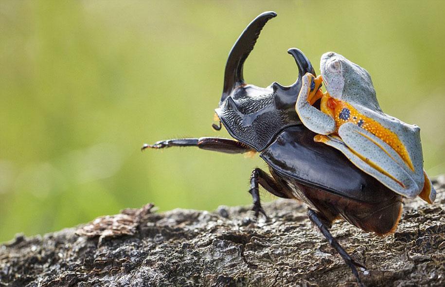 frog-beetle-rodeo-hendy-mp-3