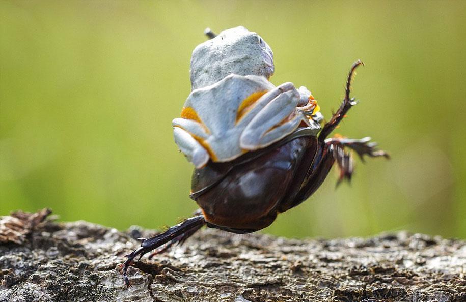 frog-beetle-rodeo-hendy-mp-4