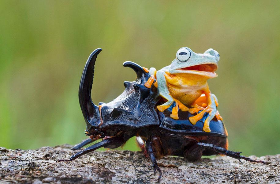 frog-beetle-rodeo-hendy-mp-6