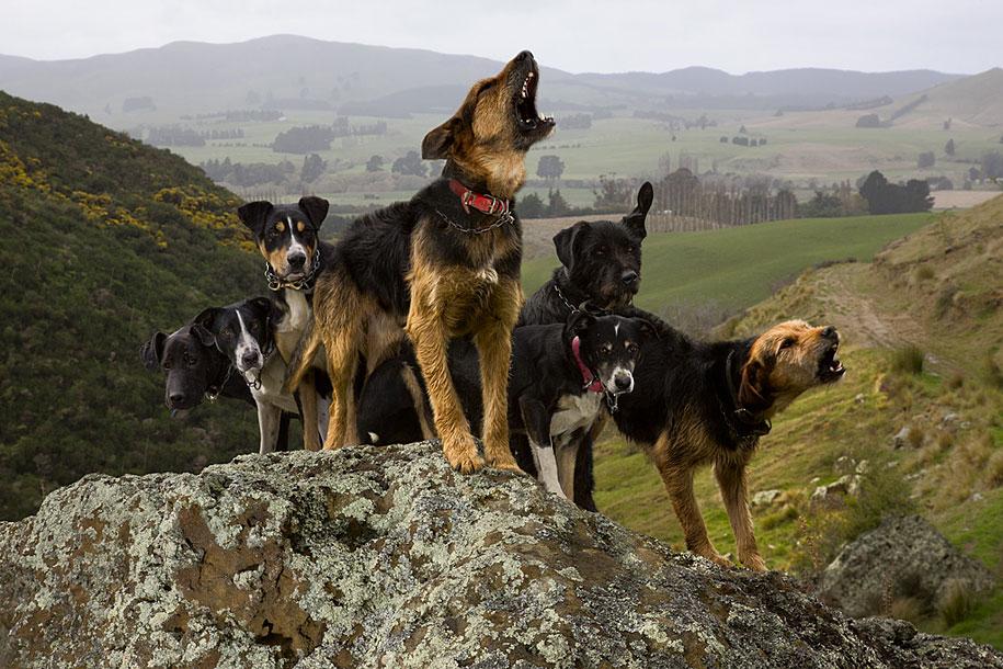 working-dog-animals-shepherds-realm-andrew-fladeboe-17