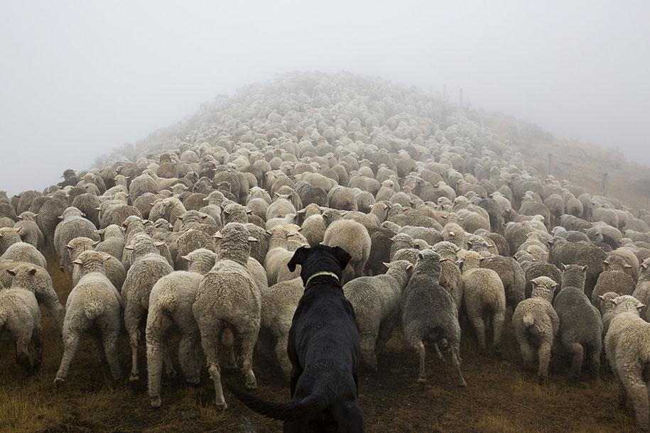 working-dog-animals-shepherds-realm-andrew-fladeboe-35