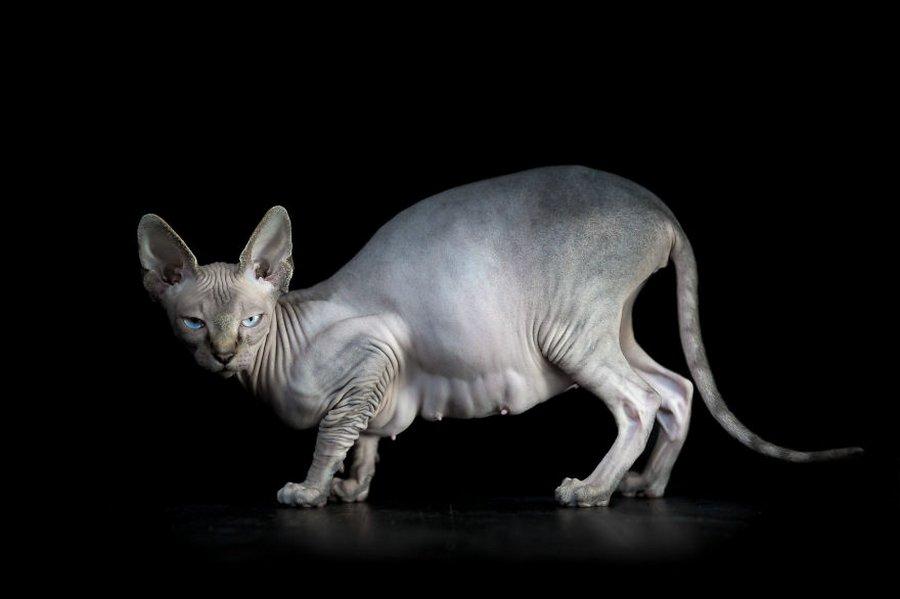 furless-portrait-photography-sphynx-cats-alicia-rius-13