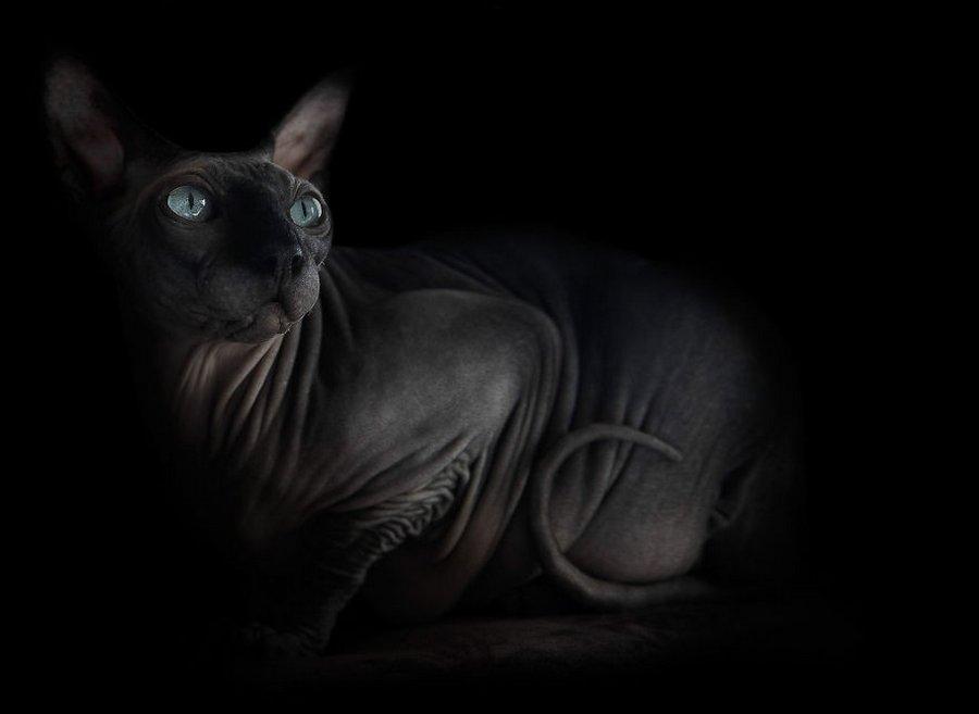 furless-portrait-photography-sphynx-cats-alicia-rius-14