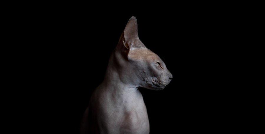 furless-portrait-photography-sphynx-cats-alicia-rius-7