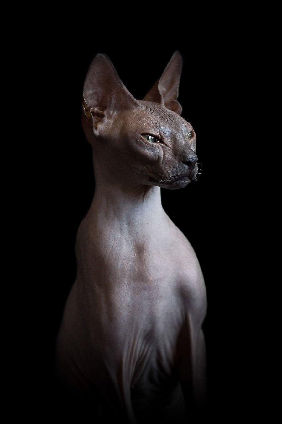furless-portrait-photography-sphynx-cats-alicia-rius-8