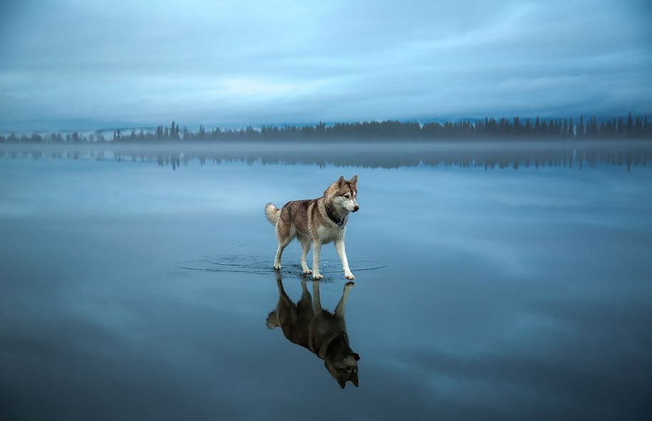 photography-dogs-siberian-husky-frozen-lake-fox-grom-12