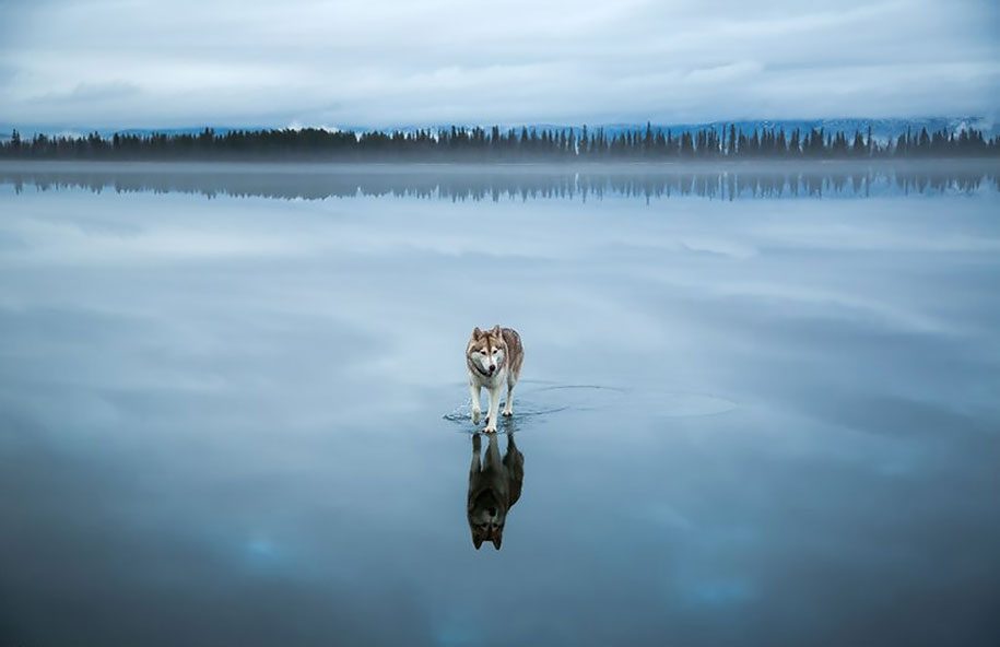 photography-dogs-siberian-husky-frozen-lake-fox-grom-4