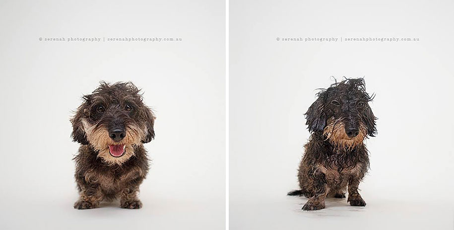 animal-portraits-dry-dog-wet-dog-serenah-hodson-01