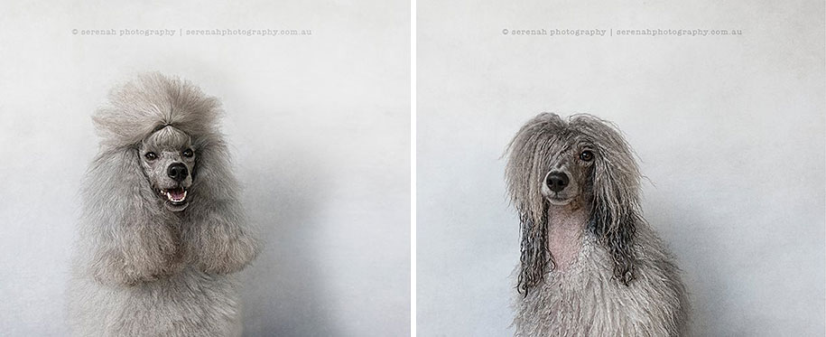 animal-portraits-dry-dog-wet-dog-serenah-hodson-07