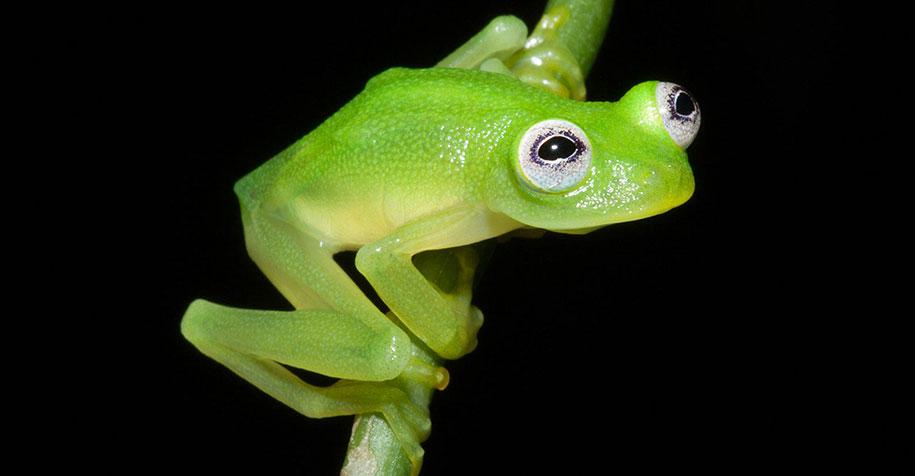 kermit-frog-lookalike-diane-bare-hearted-glassfrog-costa-rica-05