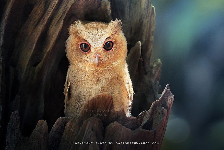 owl-photography-sasi-smit-21