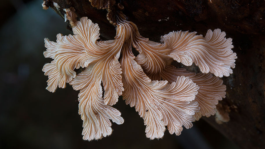 exotic-australian-mushroom-photography-steve-axford-67